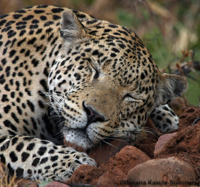 The Big Cats Of Africa Scotnature