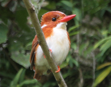 Pygmy kingfisher in Madagascar