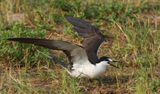 Sooty Tern defending the territory