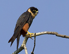 Bat Falcon in Crystalino Lodge