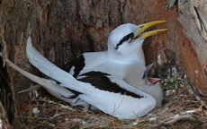 White-tailed Tropicbird in the Seychelles