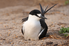 Sooty tern on the nest on the Bird island