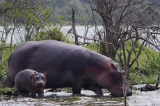 Hippo with a baby