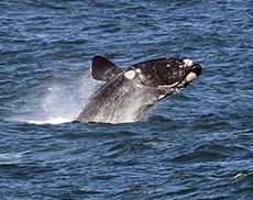 Southern Right Whale in South Africa