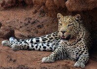 Leopard at den