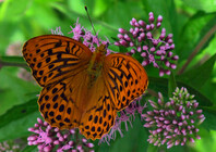 Silver-washed Fritillary Argynnis paphia, male