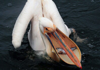 Great White Pelican 1