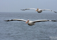 Great White Pelican 4