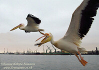 Great White Pelican 8