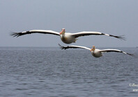 Great White Pelican 3