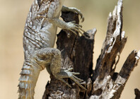 Spiny-tailed Iguanid