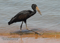 Opened-billed Stork