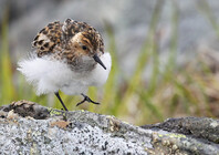 Little Stint 2