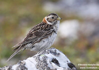 Lapland Bunting female