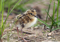 Temminck's Stint chick