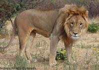 The Big Cats of Africa