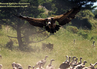 Griffon Vulture coming to land